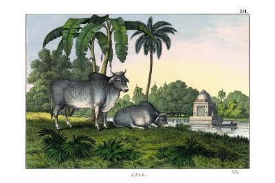 Zebu, 1860--Giclee Print