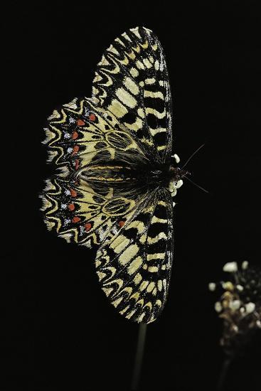 Zerynthia Polyxena (Southern Festoon)-Paul Starosta-Photographic Print