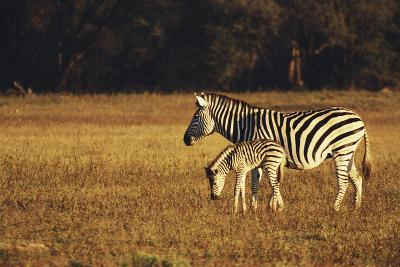 Zimbabwe, Hwange National Park, Linkwasha, Mom and Baby, Burchells Zebra-Stuart Westmorland-Photographic Print