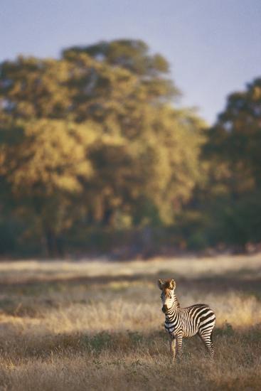 Zimbabwe, View of Burchells Zebra Linkwasha in Hwange National Park-Stuart Westmorland-Photographic Print