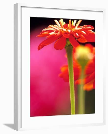 Zinnia, Seattle, Washington, USA-Terry Eggers-Framed Photographic Print