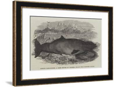 Ziphius Tasmaniensis, a Rare Species of Dolphin, Killed Near Flinders Island--Framed Giclee Print