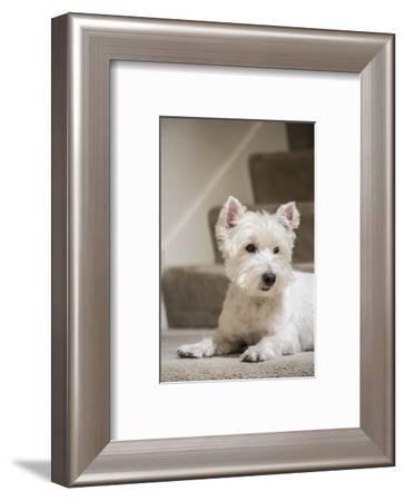 Zipper, a Westie, reclining by the stairs.-Janet Horton-Framed Photographic Print