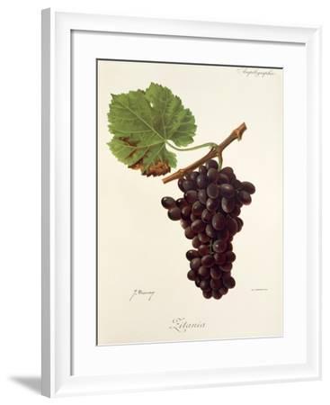 Zitania Grape-J. Troncy-Framed Giclee Print