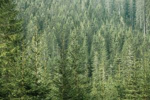 Green Coniferous Forest with Old Spruce, Fir and Pine Trees by zlikovec