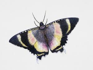 Zodiac Moth (Alcides Metaurus Zodiaca), Uraniidae, Artwork by Steve Roberts