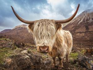 Close up Portrait of a Highland Cattle at the Glamaig Mountains on Isle of Skye, Scotland, UK by Zoltan Gabor