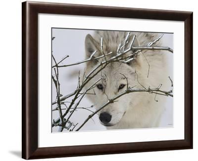 Zoo Wolf 1-Gordon Semmens-Framed Photographic Print