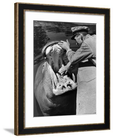 Zookeeper Rubbing a Hippotomus's Gums at the Brookfield Zoo-William Vandivert-Framed Photographic Print