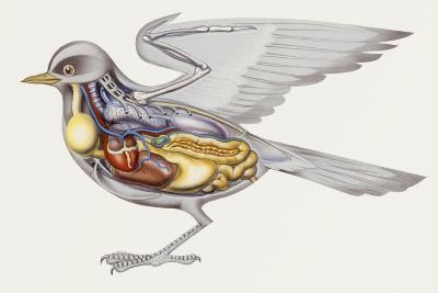 Zoology: Birds, Anatomy--Giclee Print