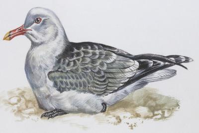 Zoology: Birds, Audouin's Gull, (Larus Audouinii)--Giclee Print