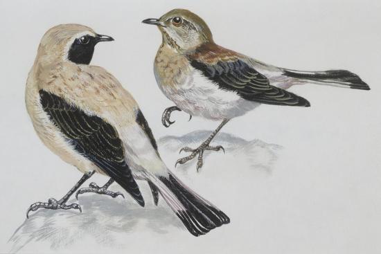 Zoology: Birds, Black-Eared Wheatear (Oenanthe Hispanica), Male and Female--Giclee Print