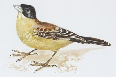 https://imgc.artprintimages.com/img/print/zoology-birds-black-headed-bunting-emberiza-melanocephala_u-l-pve6yz0.jpg?p=0