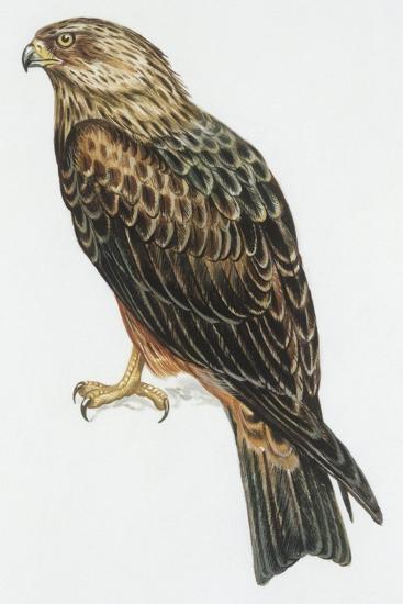 Zoology: Birds, Black Kite (Milvus Migrans) Flying--Giclee Print
