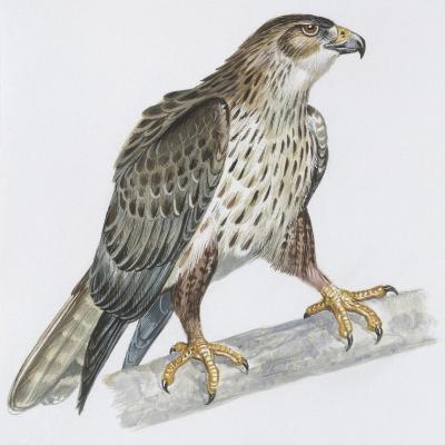 Zoology: Birds, Bonelli's Eagle (Hieraaetus Fasciatus)--Giclee Print