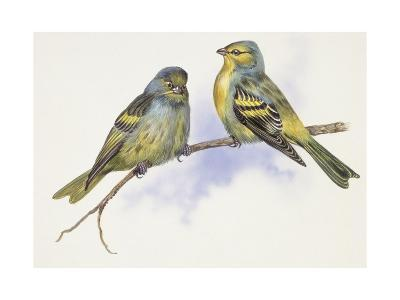 Zoology: Birds, Corsican Finch (Carduelis Corsicana) and European Goldfinch (Carduelis Carduelis)--Giclee Print
