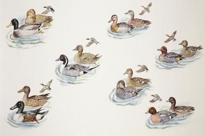 Zoology: Birds, Duck (Anatinae)--Giclee Print