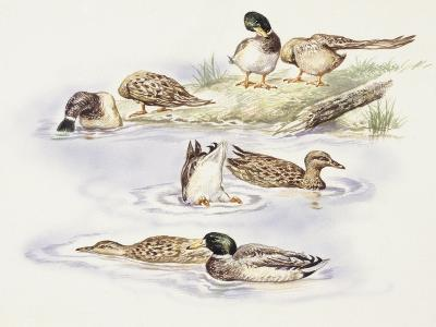 Zoology: Birds, Ducks Swimming--Giclee Print