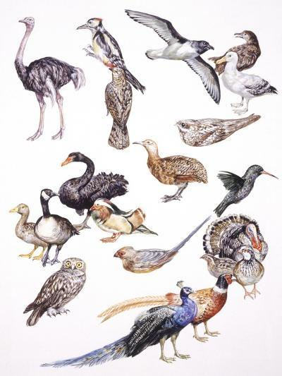 Zoology: Birds, Examples of Different Orders--Giclee Print