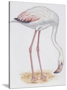 Zoology: Birds, Greater Flamingo