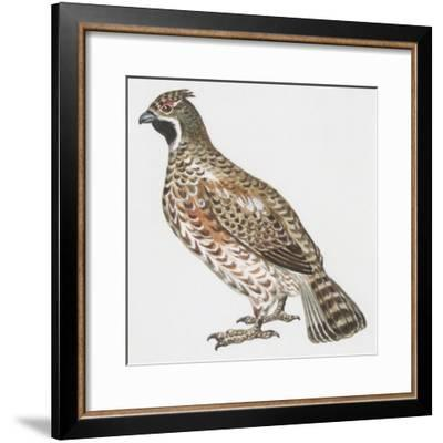 Zoology: Birds, Hazel Hen (Bonasa Bonasia)--Framed Giclee Print