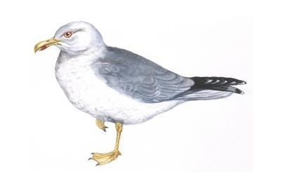 Zoology: Birds, Herring Gull, (Larus Argentatus)--Giclee Print