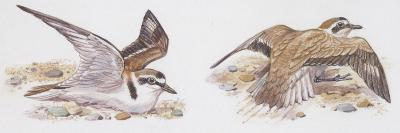 Zoology: Birds, Kentish Plover--Giclee Print