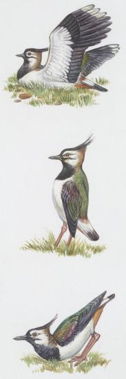 Zoology: Birds, Northern Lapwing (Vanellus Vanellus)--Giclee Print