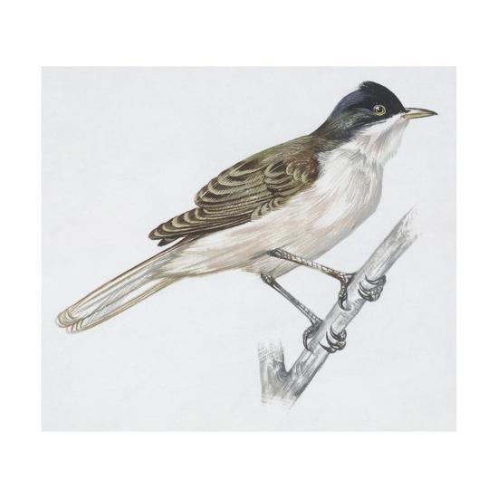Zoology: Birds - Passeriformes - Western Orphean Warbler (Sylvia Hortensis). Art Work--Giclee Print
