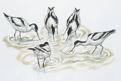 Zoology: Birds, Pied Avocet (Recurvirostra Avosetta)--Giclee Print