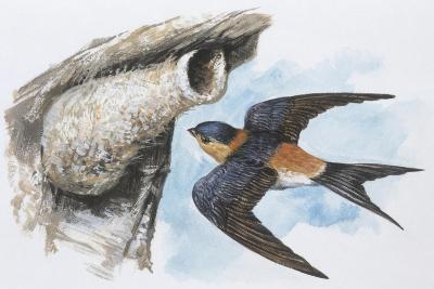 Zoology: Birds, Red-Rumped Swallow (Hirundo Daurica)--Giclee Print