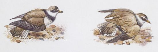 Zoology: Birds, Ringed Plover (Charadrius Hiaticula)--Giclee Print