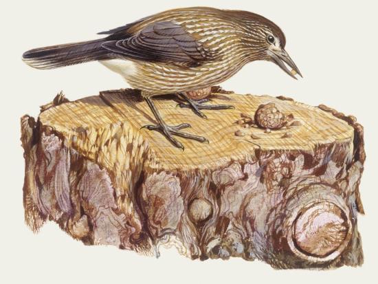 Zoology: Birds, Spotted Nutcracker, (Nucifraga Caryocatactes)--Giclee Print