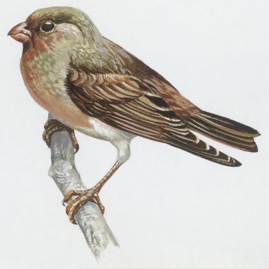 Zoology: Birds, Trumpeter Finch, (Rhodopechys Githaginea)--Giclee Print