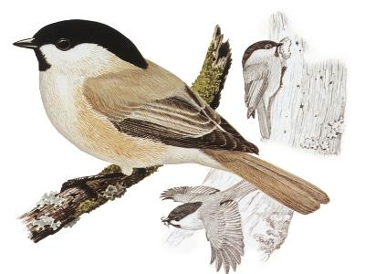 Zoology: Birds, Willow Tit (Poecile Montanus)--Giclee Print