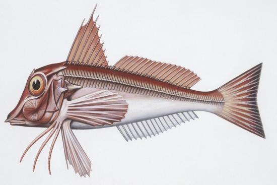 Zoology: Fishes: East Atlantic Red Gurnard (Aspitriglia Cuculus)--Giclee Print