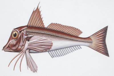 https://imgc.artprintimages.com/img/print/zoology-fishes-east-atlantic-red-gurnard-aspitriglia-cuculus_u-l-pve3yn0.jpg?p=0