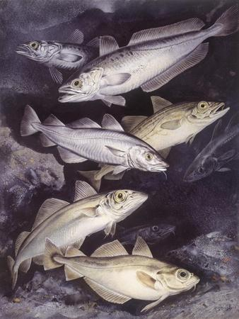 Zoology: Fishes: Gadidae Family, Different Species--Giclee Print
