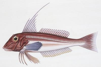 Zoology: Fishes: Long-Finned Gurnard (Aspitriglia Obscura,Illustration--Giclee Print