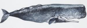 Zoology: Mammals: Sperm Whale (Physeter Catodon)