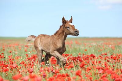 Arabian Foal Running in Red Poppy Field