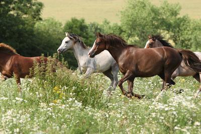 Batch of Horses Running in Flowered Scene