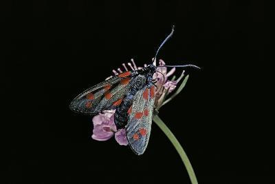 Zygaena Filipendulae (Six-Spot Burnet)-Paul Starosta-Photographic Print